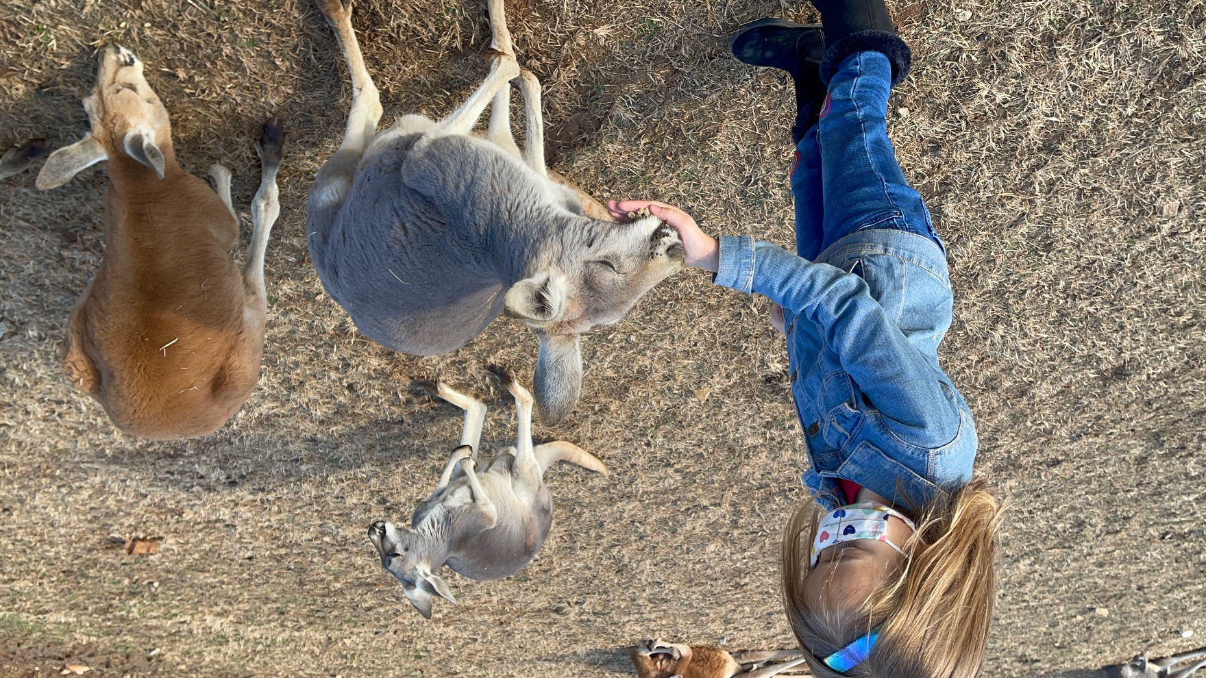 Best things to do in Bowling Green with kids. Kentucky Down Under - Kangaroos eating out of Scarlett's hand